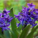 Fialovy hyacint