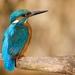 Rybárik riečny - samček