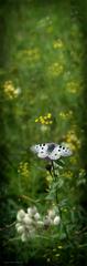 Vzletná lahkosť motýlia ...