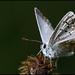 motýlková