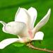 Magnólia biela