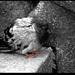 Chorý holub