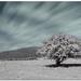 Runina tree