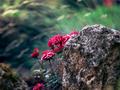 skalné ruže