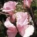 ružový sad