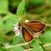 Súmračník čiarkový(Thymelicus li
