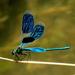 Hadovka lesklá(Calopteryx splend