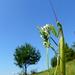 Modlivka zelená(Mantis religiosa