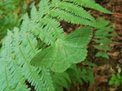 Piadivka zelená