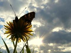 Babôčka pávooká v jarnom slnku