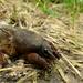 Medvedík(Gryllotalpa gryllotalpa