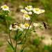 Fúzač škvrnitý(Strangalia macula
