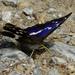 Dúhovec väčší(Apatura iris)