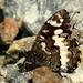 očkán stoklasový(Brintesia circe
