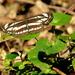 Bielopásovec hrachorový(Neptis s