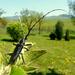 Fúzač bukovy(Cerambyx scopolii)