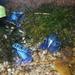 Modrá žaba