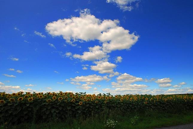 Slnečnicové pole