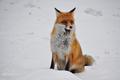 Líška tatranská, čo rada pózuje.