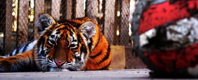 Tiger v zajatí