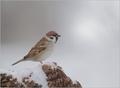 Vrabčiak