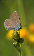 Modračik lesný
