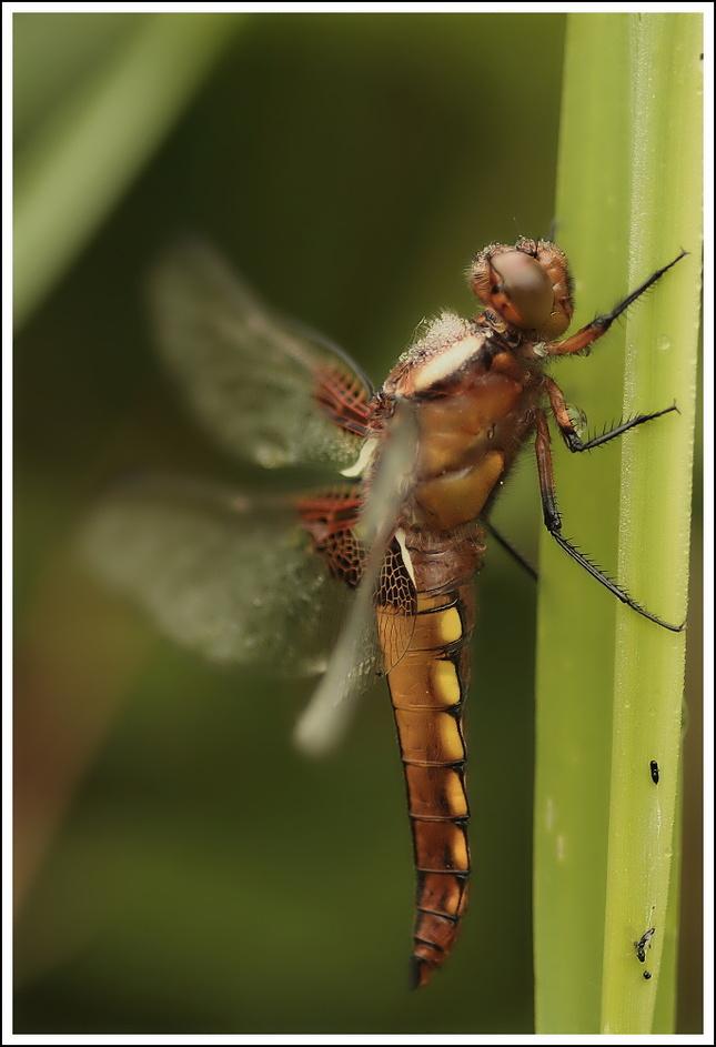 Vážka ploská.