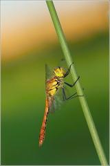 Vážka obyčajná.