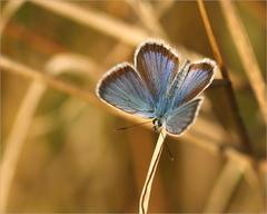 Motýľovka.
