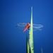 dragonfly II.