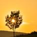 strom pri západe