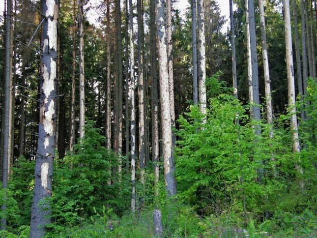 najkrajšie stromy sú na horehron