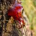 Živicový mravec
