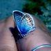motylik farebny