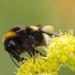 Bombus terrestris (čmeľ zemný)