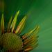 spev kvetu