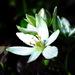 kvet cesnaku