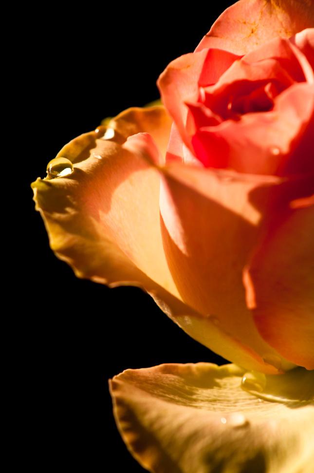 Weeping rose.