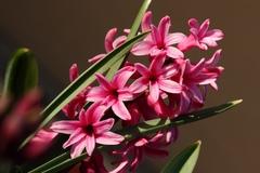 Hyacint I.