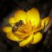 Včielka crocusová