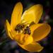 Včielka crocusová unavená
