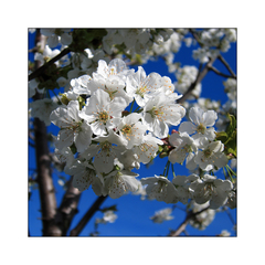 ... pod rozkvitnutou čerešňou ..
