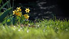 Narcis žltý