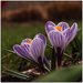 Dutch crocus I.