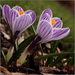 Dutch crocus II.