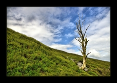 ...Tree of Comeragh...