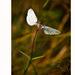> flowerfly
