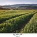 Cez zelené pole