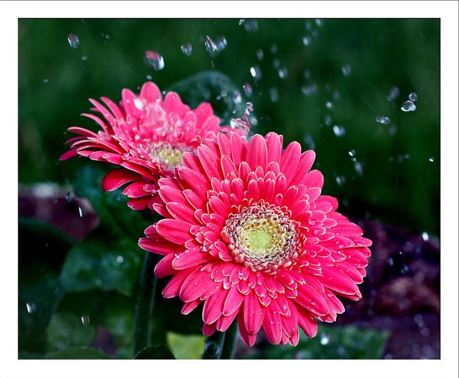 kvet v daždi