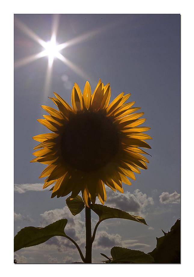 slnko a slnečnica